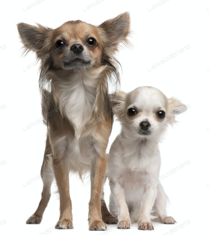 Chihuahuas, 16 and 12 months old, in front of white background