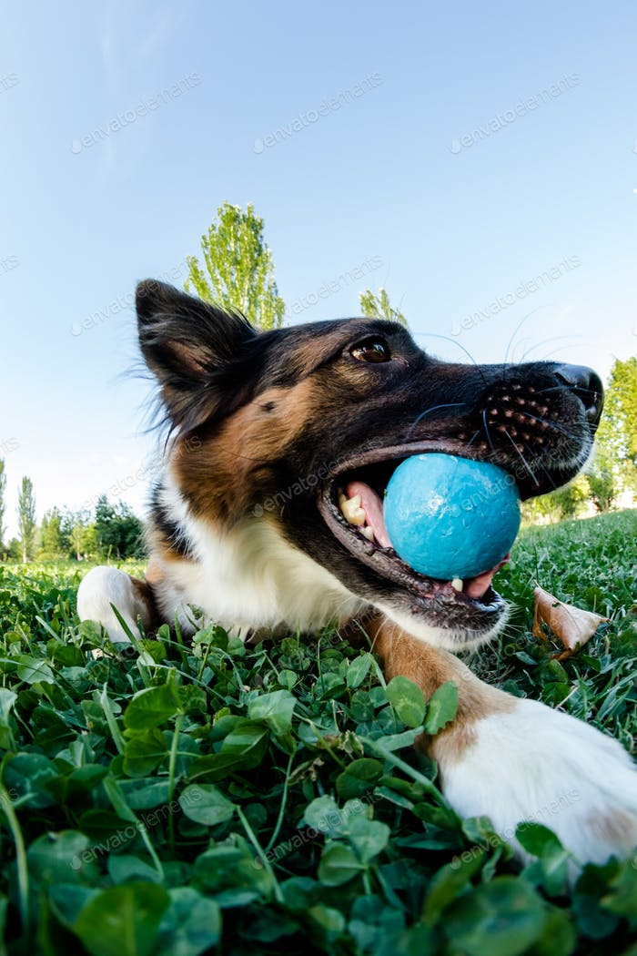 Face of a happy border collie dog. Blue ball