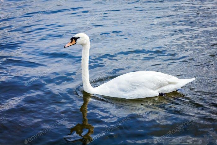 Mute Swan Cygnus olor in lake