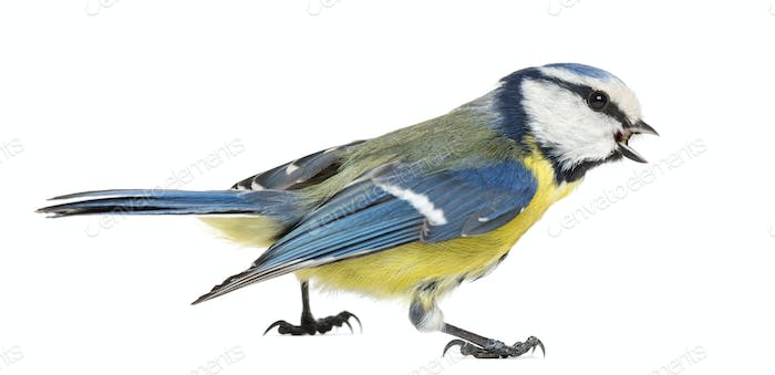 Side view of a Whistling Blue Tit, Cyanistes caeruleus, isolated on white