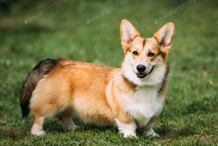 Funny Happy Pembroke Welsh Corgi Dog Playing In Green Summer Gra