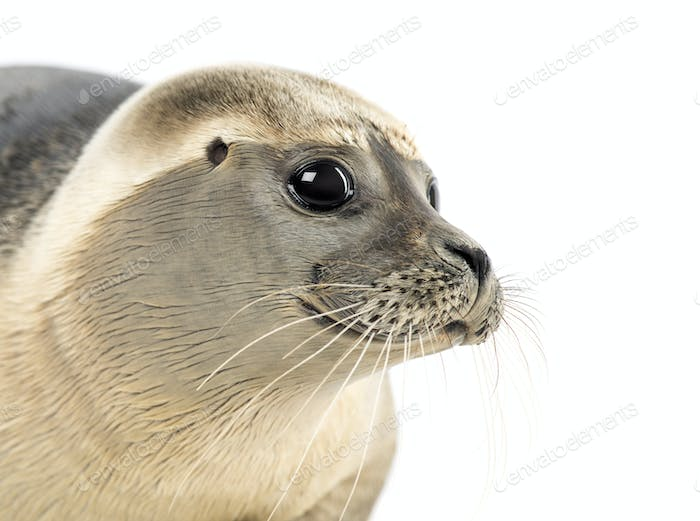 Close-up of a Common seal, Phoca vitulina, 8 months old, isolated on white