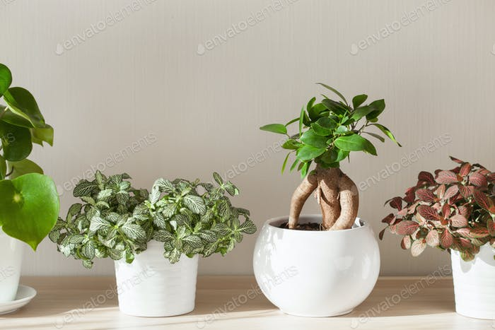 houseplants ficus microcarpa ginseng  and fittonia in white flow