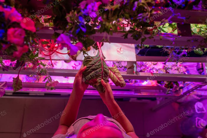 Pinching plants in hothouse
