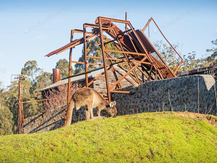 Ein Känguru und ein verlassenes Sägewerk im Donnelly River