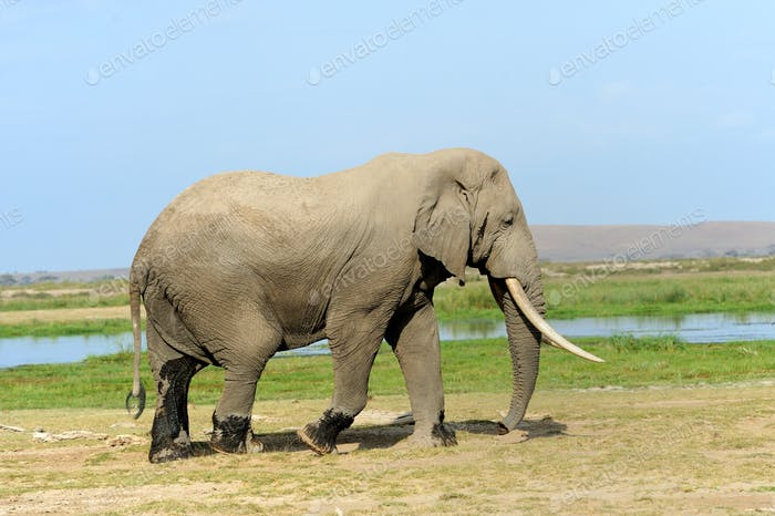 Elephant in National park of Kenya