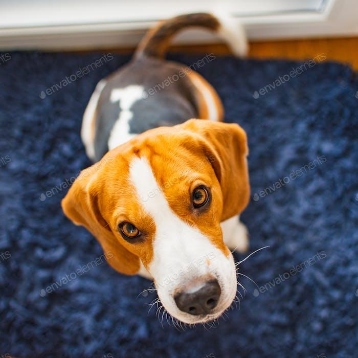 Beagle dog sits looking up towards the camera