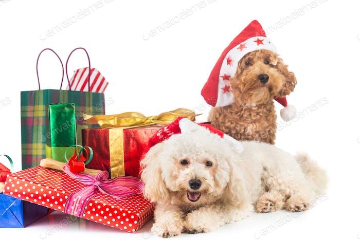 Niedliche Pudel Welpen im Weihnachtsmann-Kostüm mit reichlich Weihnachts-Gifs