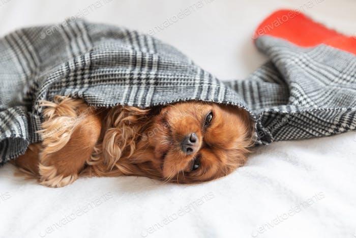 Dog under a scarf