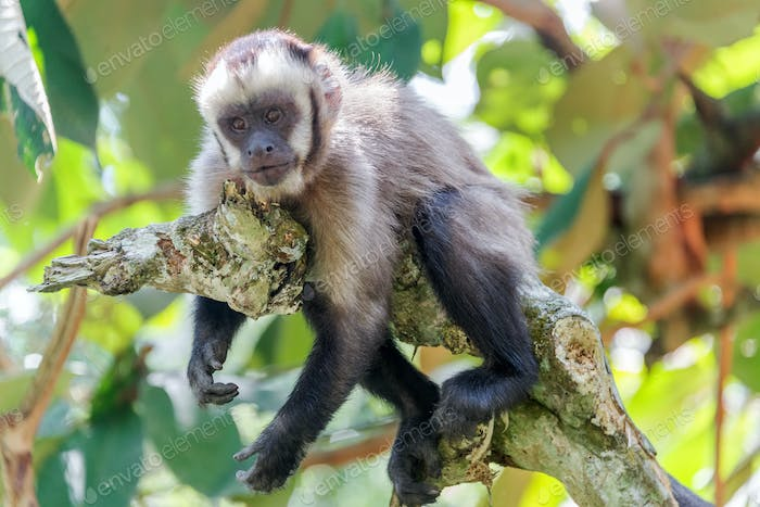 Relaxing Capuchin Monkey