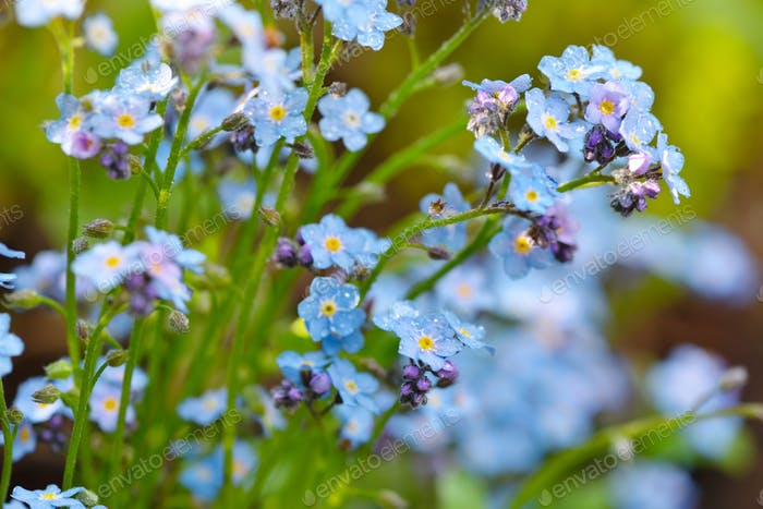 Beautiful forget-me-not blue wildflowers (Myosotis)  in the blurred background of green grass