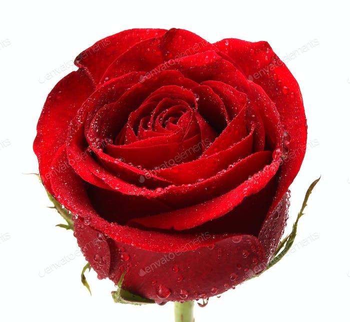 Rose flower on white.