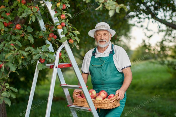 Old farmer holding basket of apples and standing on ladder in garden
