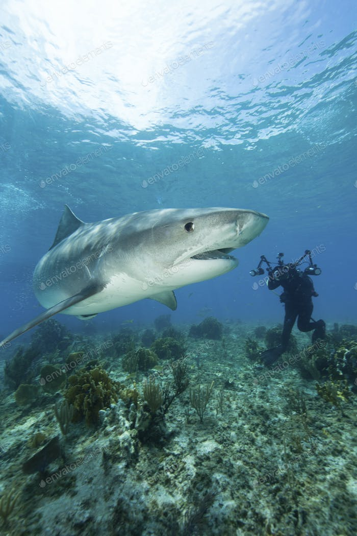 Underwater photographer attempts to capture shot of Tiger shark, drawn in close during a shark