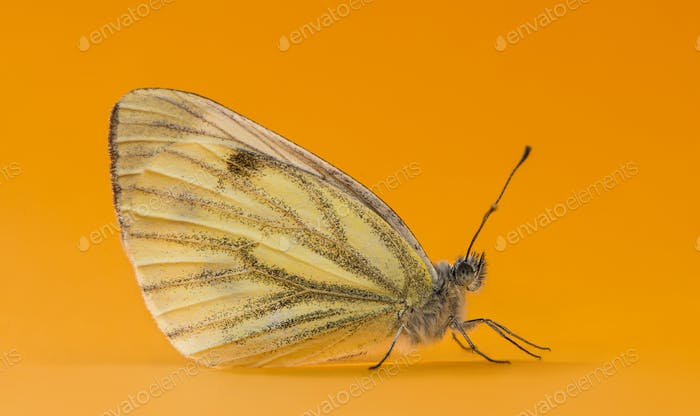 Green-veined white, Pieris napi, in front of an orange background