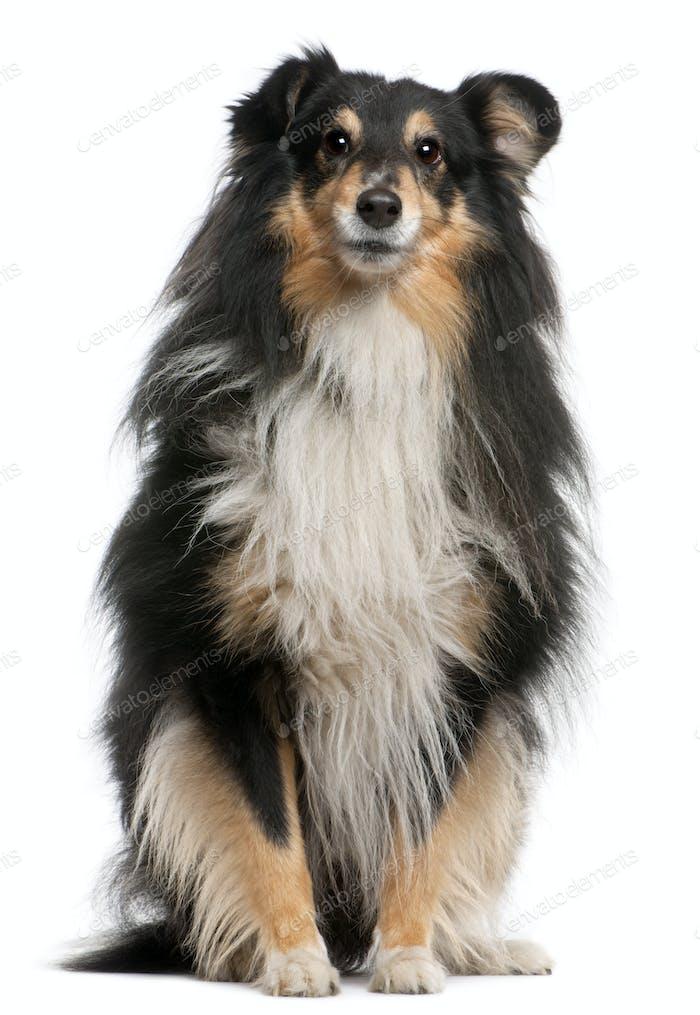 Shetland Sheepdog (7 years old)