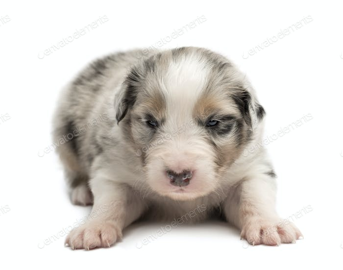 Australian Shepherd puppy, 18 days old, lying against white background