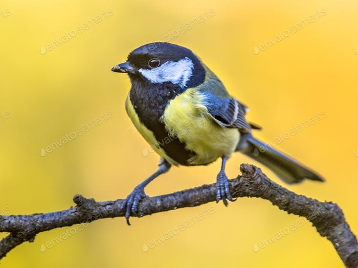 Great tit autumn background