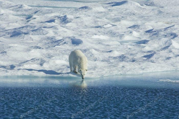 Eisbär in freier Wildbahn. Ein mächtiges Raubtier und eine gefährdete oder potenziell gefährdete Spezies.