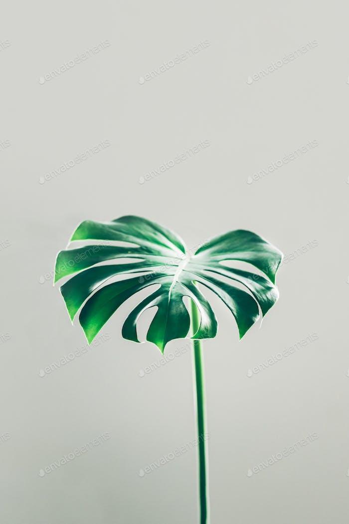Echte Monstera Blätter