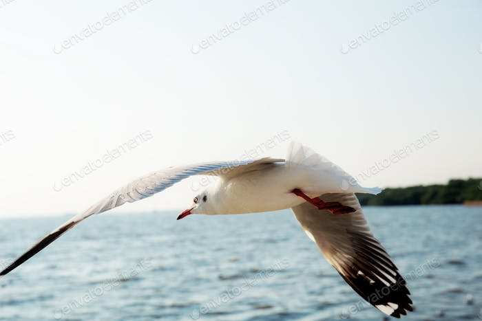Seagull flying at sea