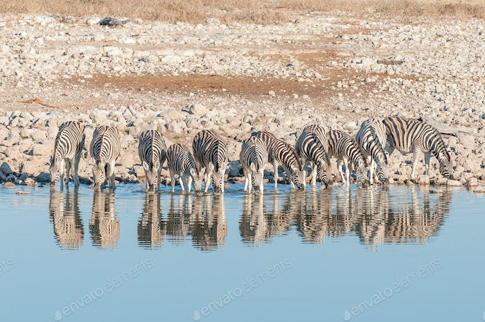 Burchells zebras, with their reflections visible, drinking water