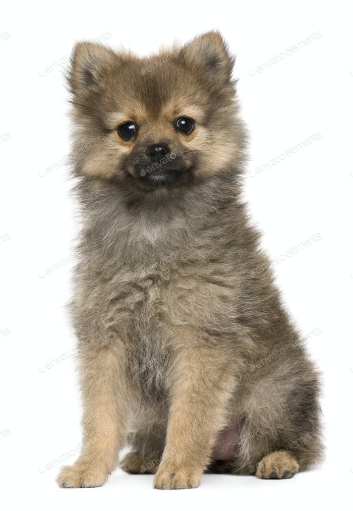 Spitz puppy, 3 months old, sitting against white background