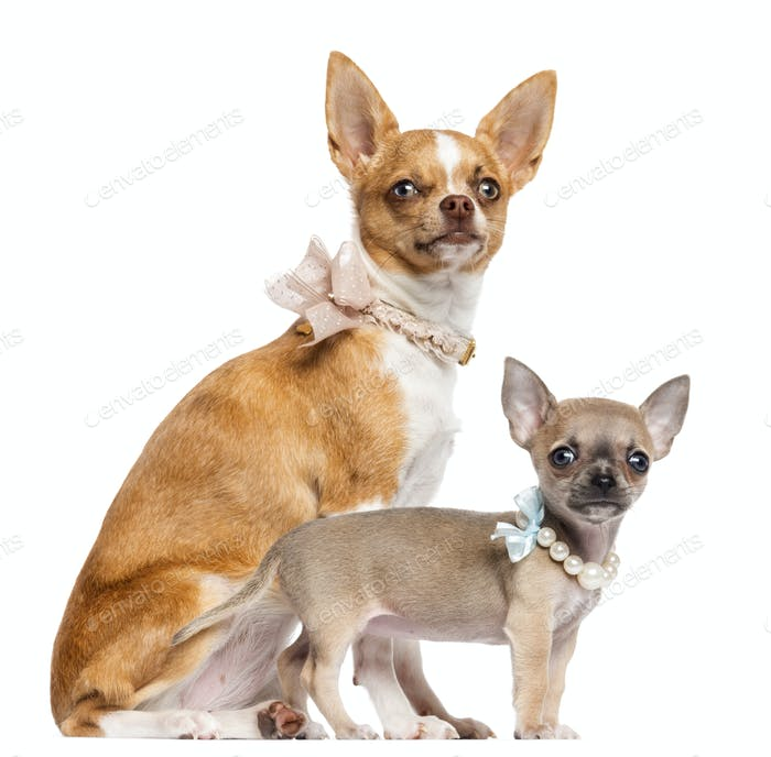 Two Chihuahua puppies, 4 and 7 months old, sitting and wearing collars, pearl and lace