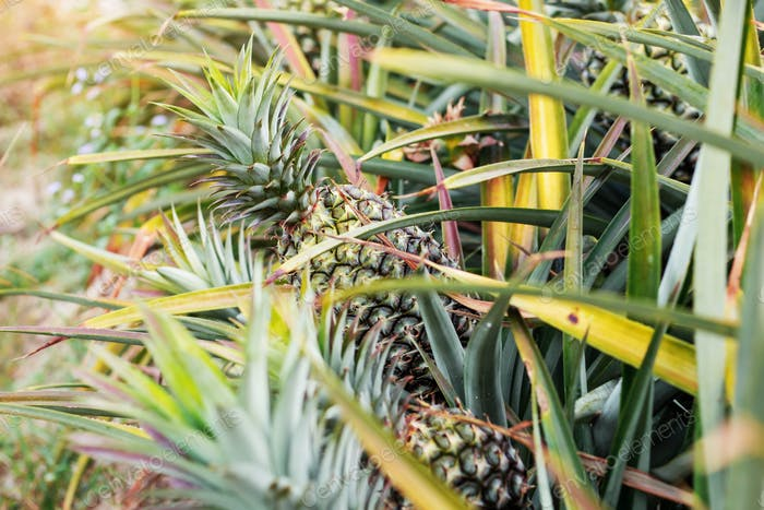 Pineapple in farm at sunlight