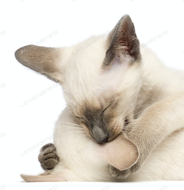 Thumbnail for Two Oriental Shorthair kittens, 9 weeks old, play fighting and biting ear against white background