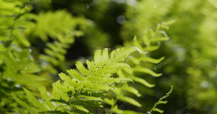 Grüne Farne Pflanze im Feld