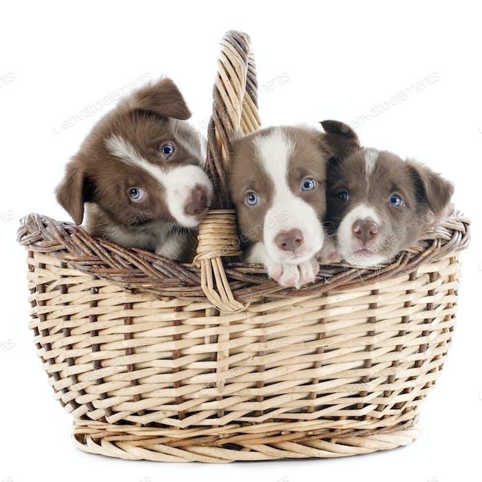 puppy border collie in basket