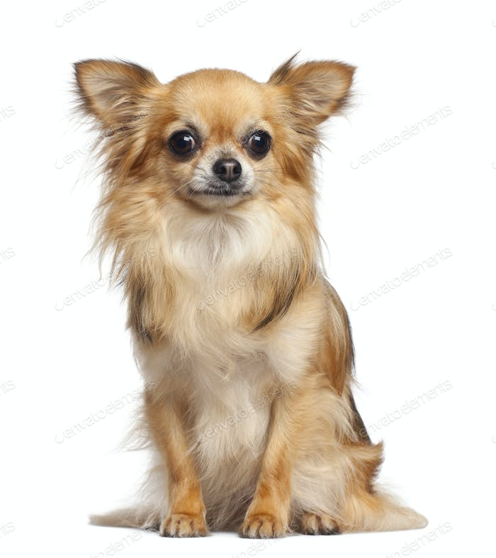 Chihuahua, 4 years old, sitting against white background