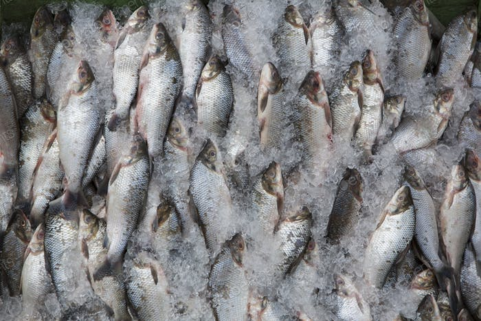 Overfishing fish in ices, Brazil