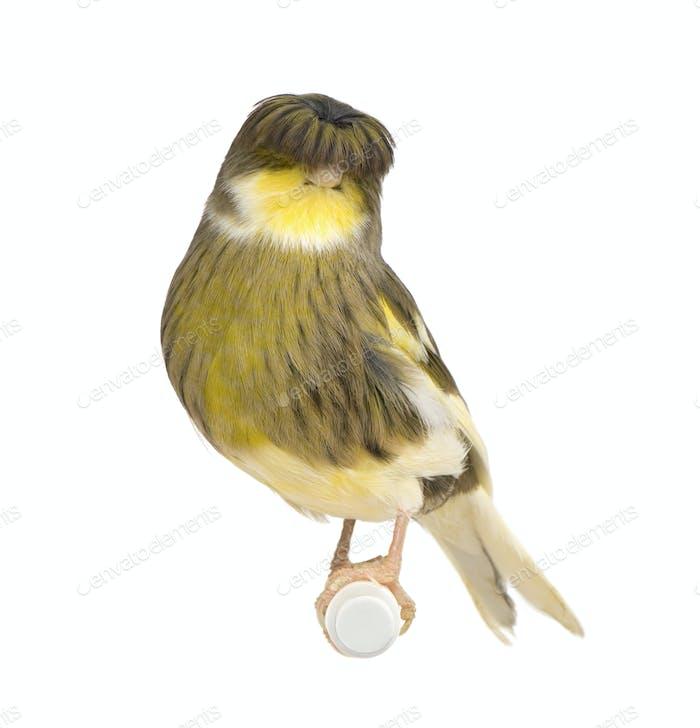 Gloster Corona Canary - Serinus canaria