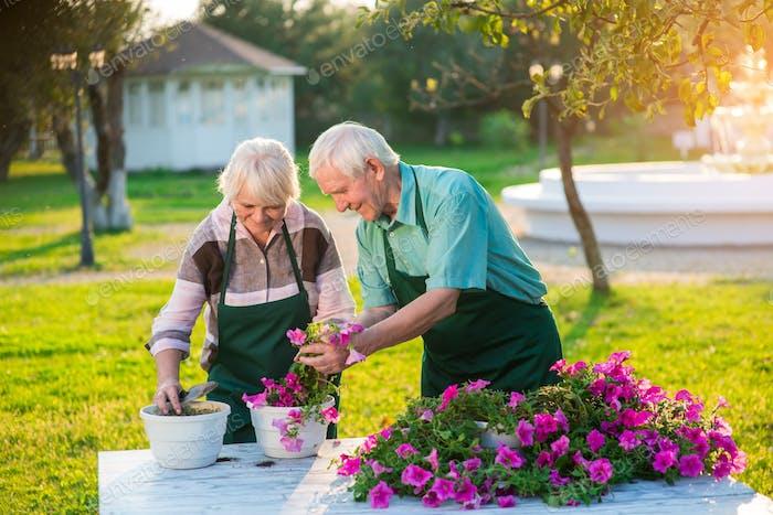 Elderly gardeners transplanting flowers