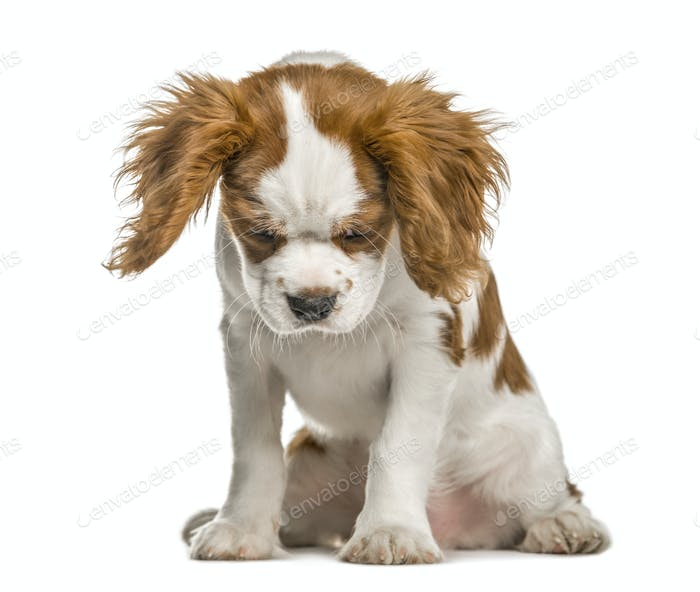 Cavalier King Charles Spaniel puppy looking down, isolated on white
