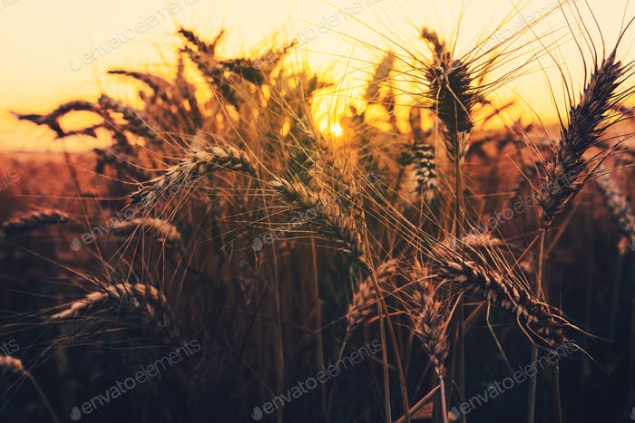 Ripe ears of wheat in field at sunset