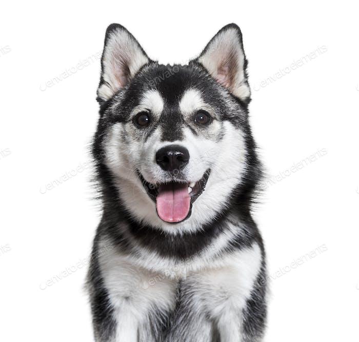 Pomsky dog panting against white background