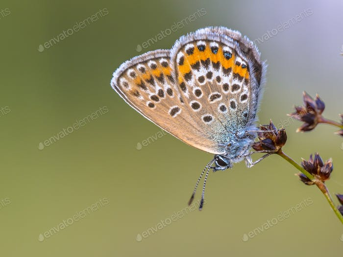 Close up Female silver studded blue butterfly resting and sleepi