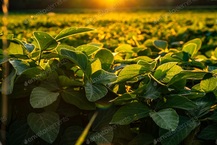 Closeup of green leaves of soybean plant