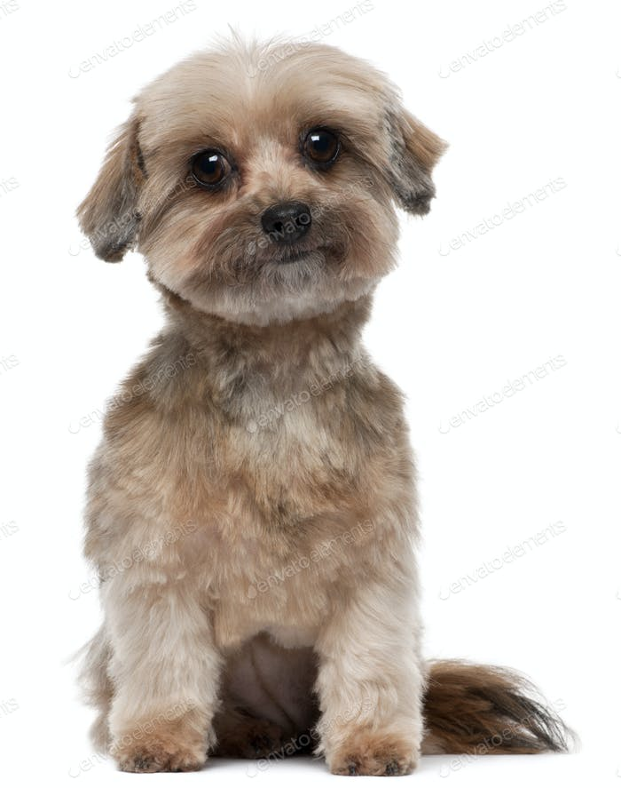 Shih tzu, 5 years old, sitting in front of white background