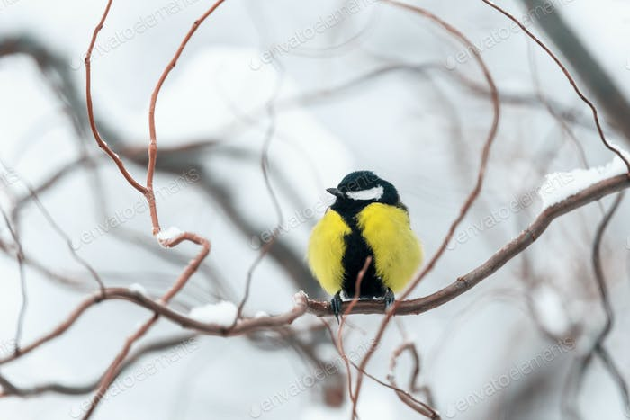 Small parus on twig close up