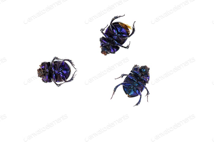 Dead scarab beetles isolated on white background