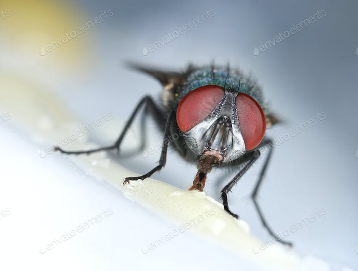 Housefly eating sweet