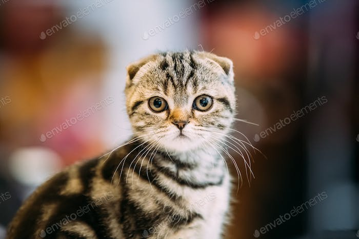 Small Cute Gray Scottish Fold Cat Kitten Indoor