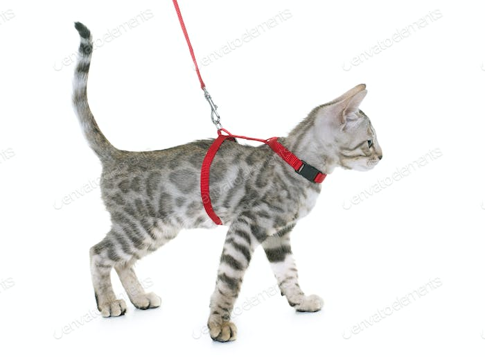 silver bengal kitten and harness