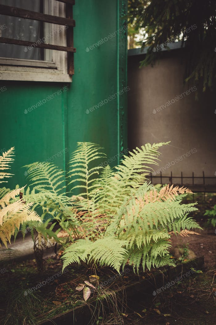 Fern in the garden