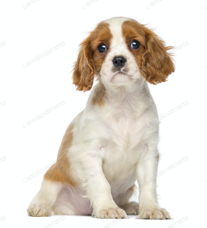 Cavalier King Charles Puppy sitting, 2 months old, isolated on white