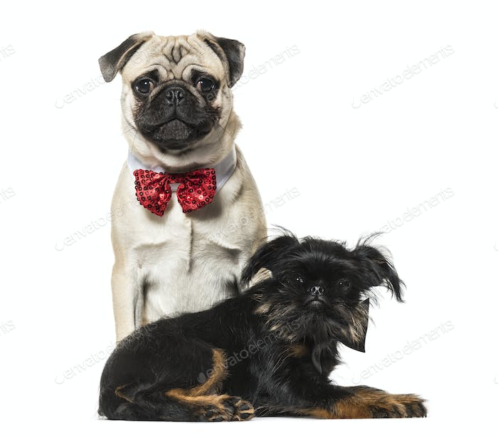 Two dogs, Pug and Griffon, Dog, pet, cut out